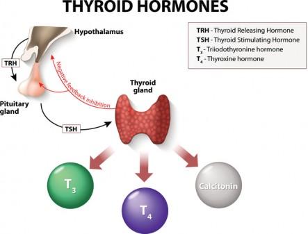 thyroid hormones T3 and T4
