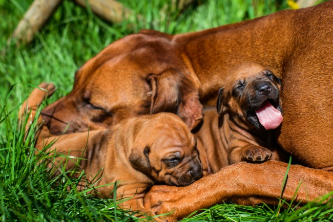 Rhodesian Ridgeback lying with her puppies on grass