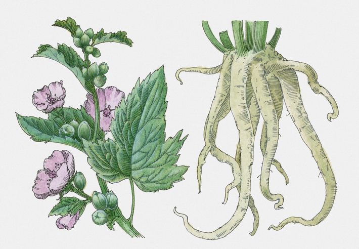 Illustration of Althaea sp. (Marshmallow), roots, leaves, and purple-pink flowers