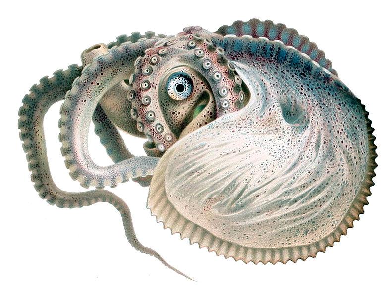 Argonauta Octopus