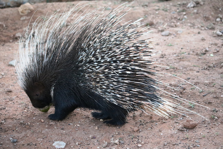 Porcupine is eating in Namibia, Africa