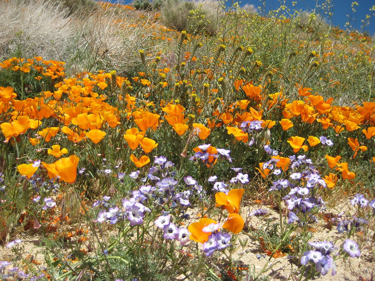 1280px-Wildflowers_at_California_Poppy_Reserve