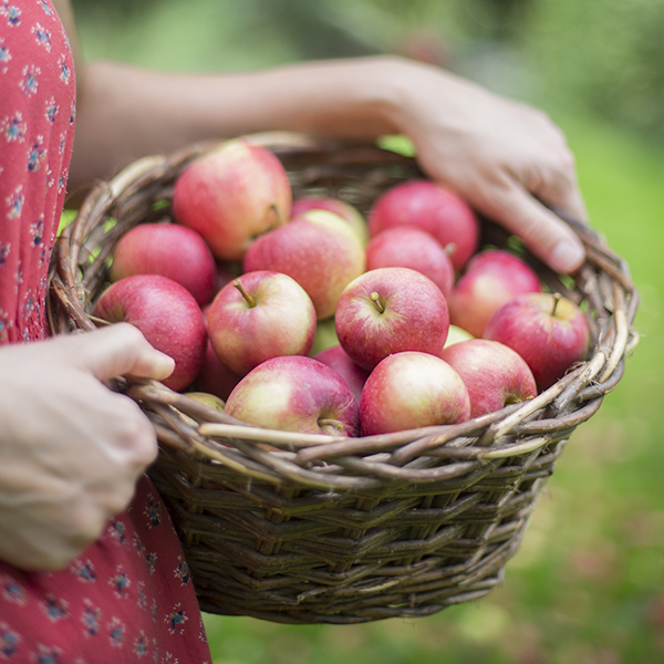 Apples are a fall fruit, but they are hardy enough to store well into the winter.