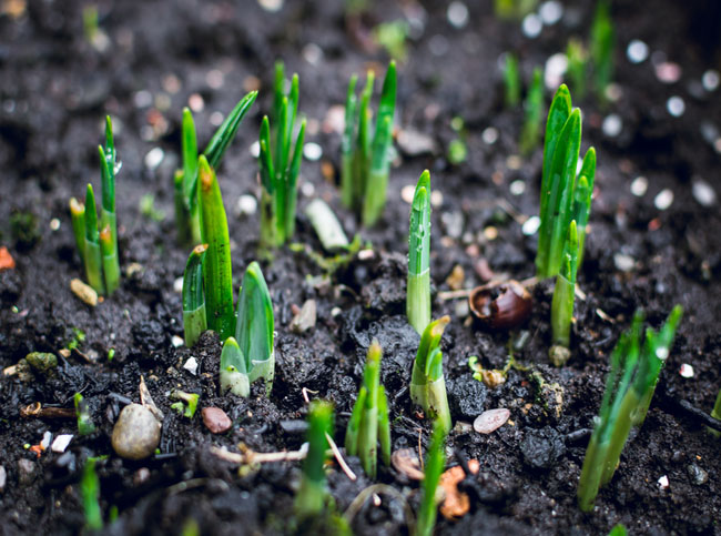 Emerging Daffodil sprouts in early Spring on rainy day 2