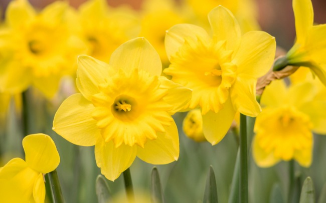 Spring flowers series, yellow daffodils in the field