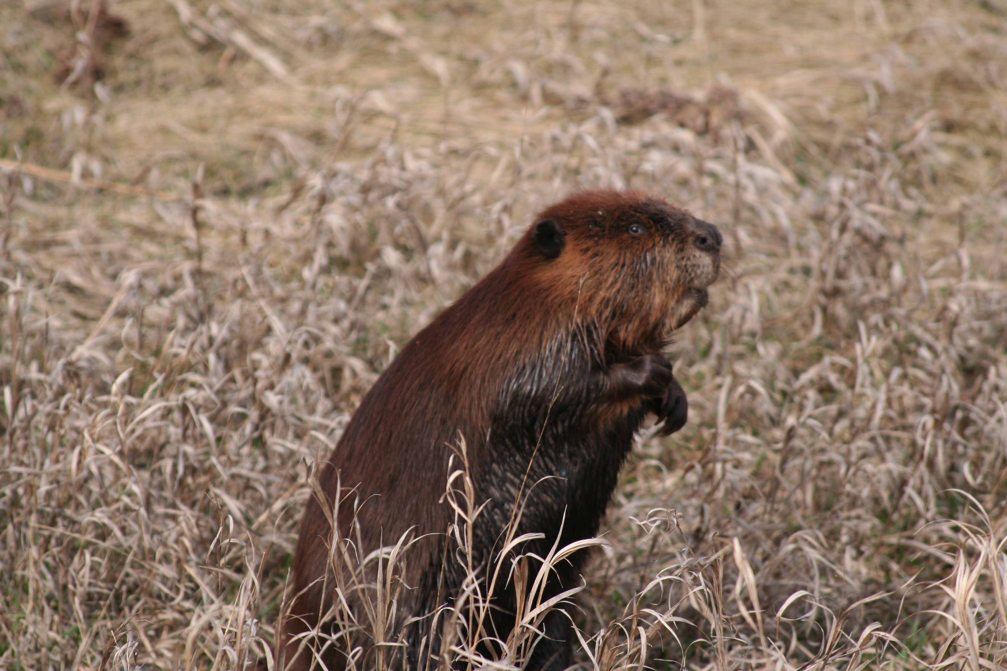 Beaver (Photo by the Nature Conservancy of Canada)