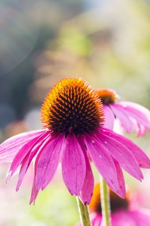 What-Is-Echinacea