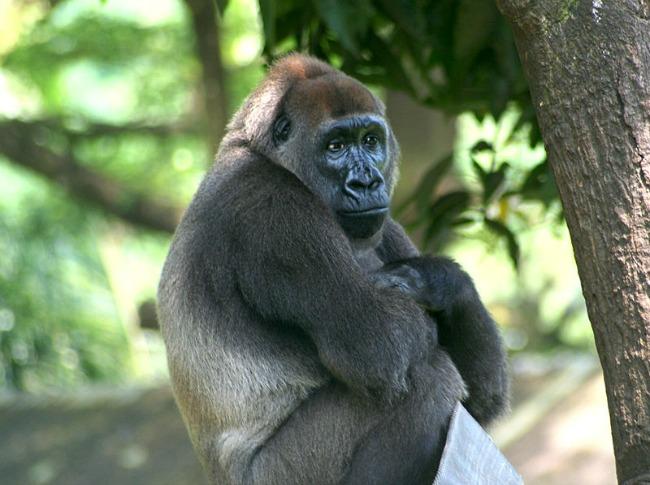 800px-Cross-River-Gorilla-Gorilla-gorilla-diehli)