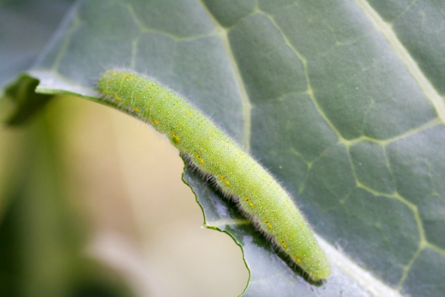 Cabbage White Butterfly Larva