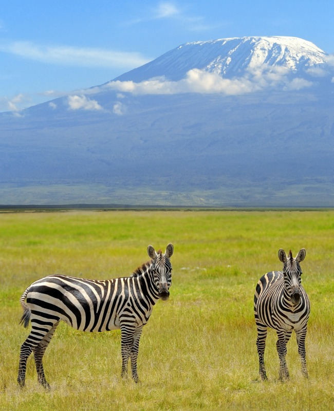 Zebra on the background of Mount Kilimanjaro in the national reserve