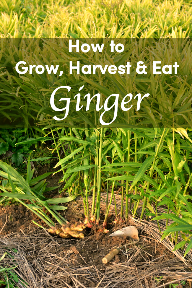 How to grow your own ginger: tips for planting, harvesting and eating.