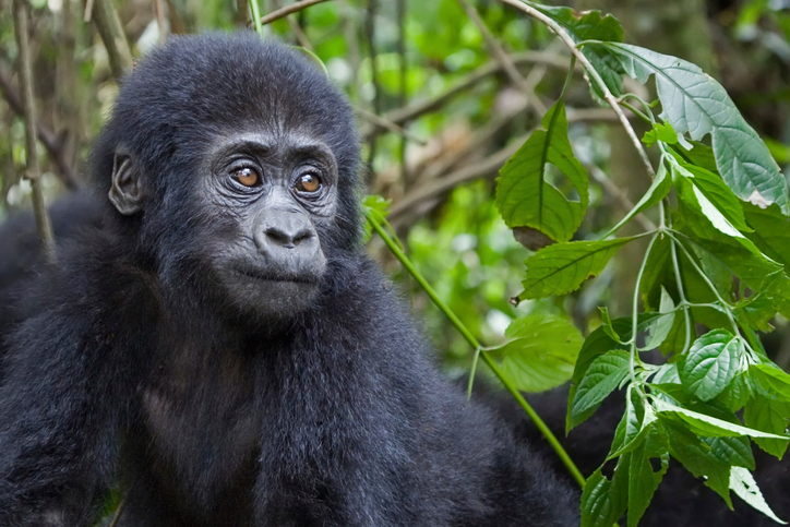 Close up of a young mountain gorilla. Member of the Nkuringo family.