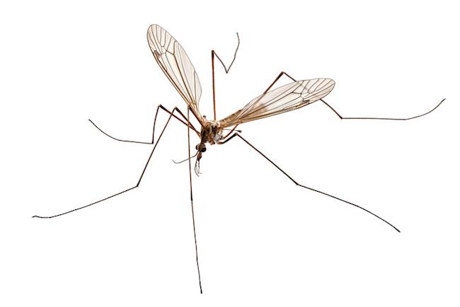 A cranefly belonging to the species of Tipula oleracea