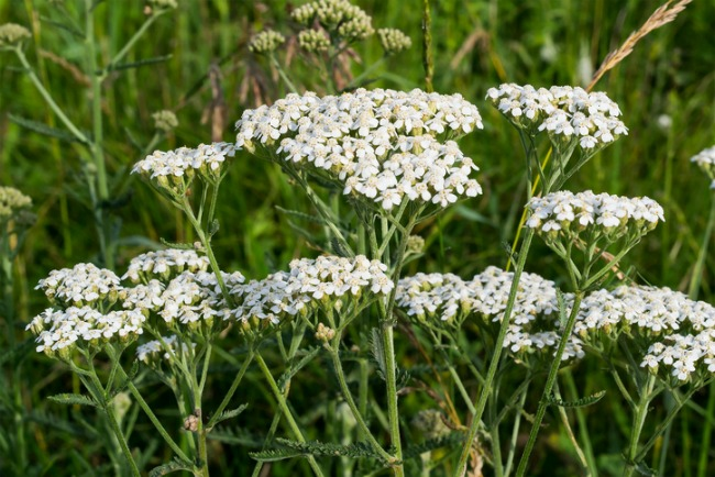 Yarrow grows on a meadow in the natural environment. Selective focus