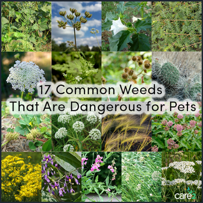 17 Common Weeds That Are Dangerous For Pets | Care2 Healthy Living
