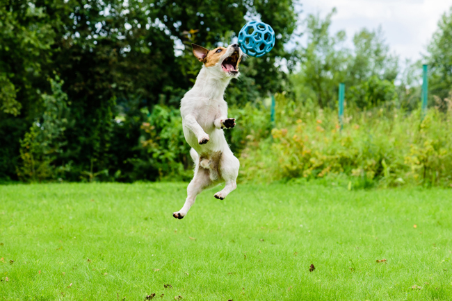 Dog jumping ant catching ball.
