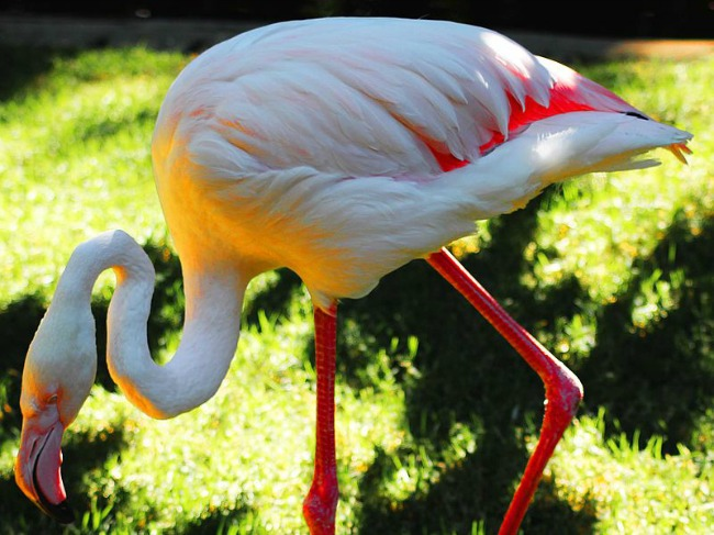 800px-Old_Greater_Flamingo_Adelaide_Zoo_dailyshoot