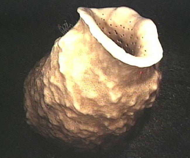 Hexactinellid_sponge02