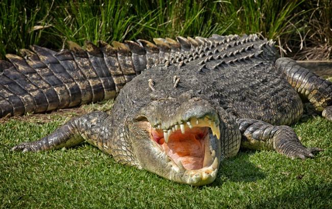 A huge Saltwater Crocodile basks in the hot Australian sun