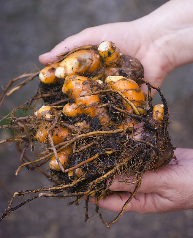How to Grow Your Own Turmeric