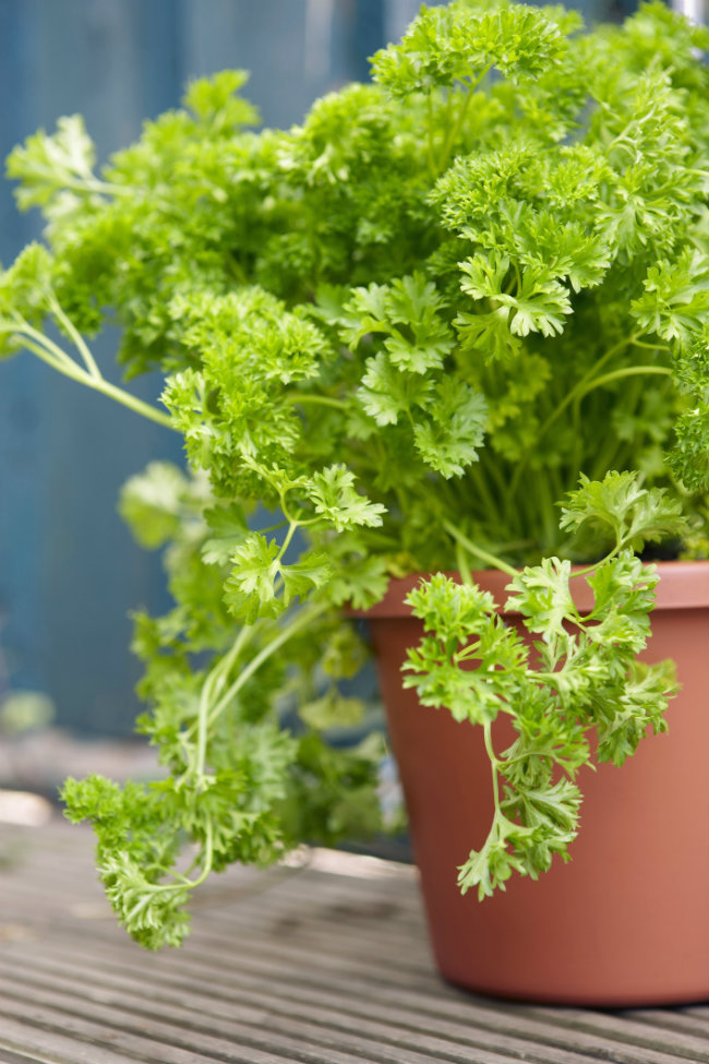 Parsley is easy to grow!