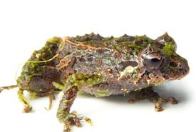 Mutable rain frog (Photo from Wikimedia Commons)