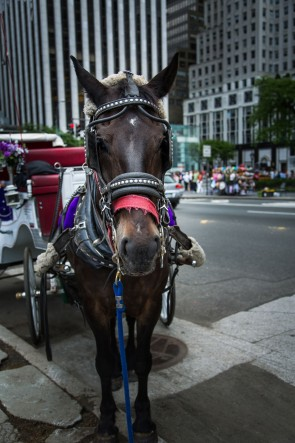 Carriage Horse in New York City