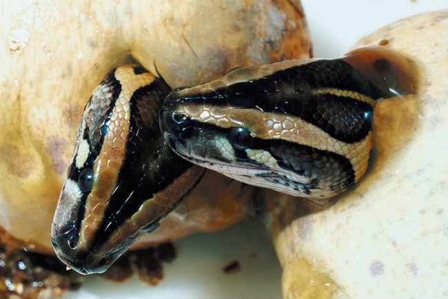 Python babies