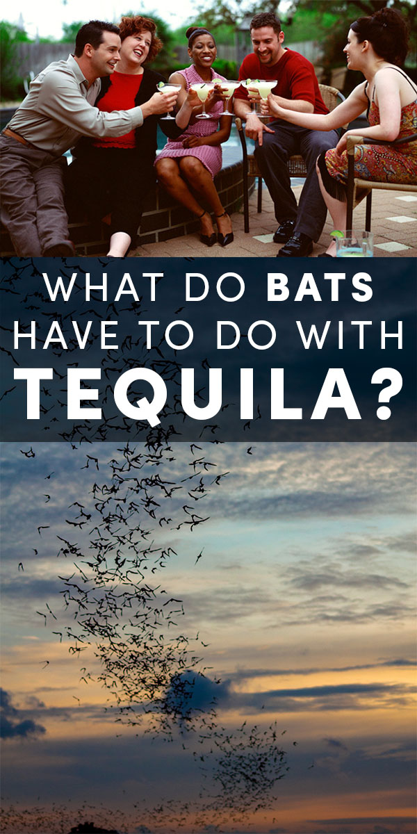 Bats and tequila rely on each other. No bats, no tequila. And without the agave plant, some endangered bat populations are also in danger.