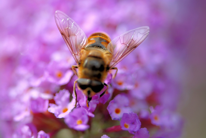 Bees are beneficial bugs that are great for your garden!