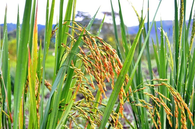 Wild rice growing