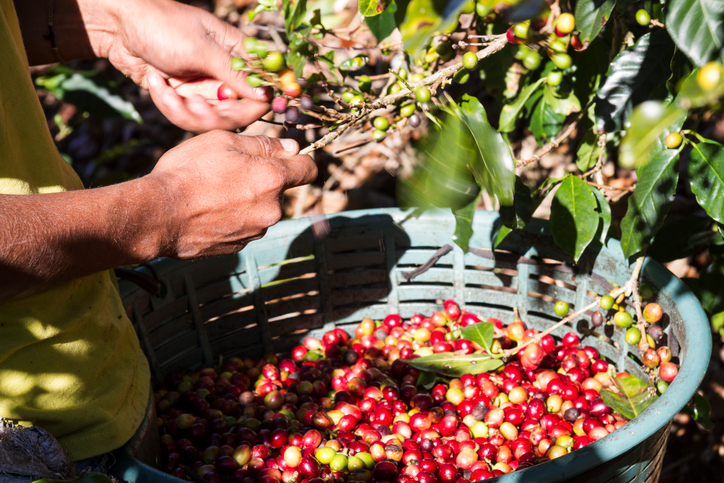 Harvesting Coffee Beans in Costa Rica