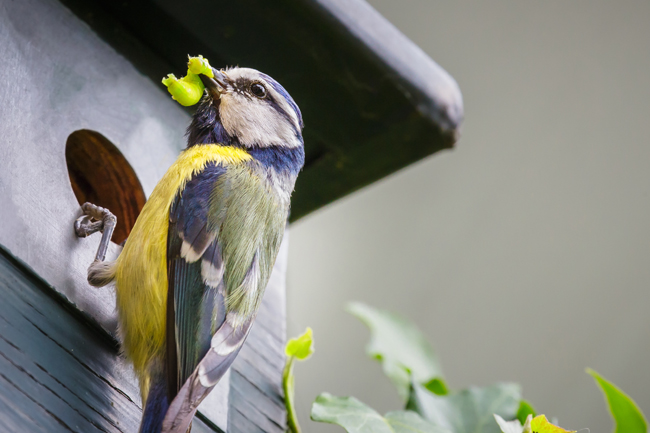 Blue tit bird brings caterpillar in nest box