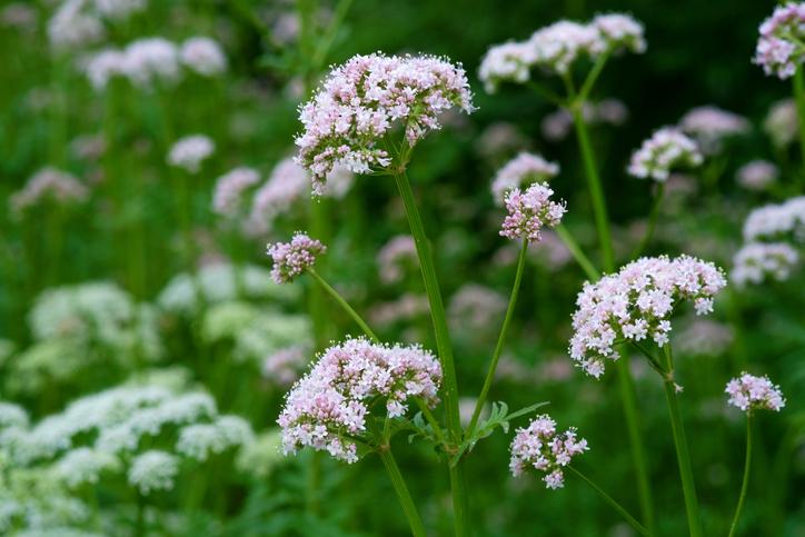 flowering common Valerian