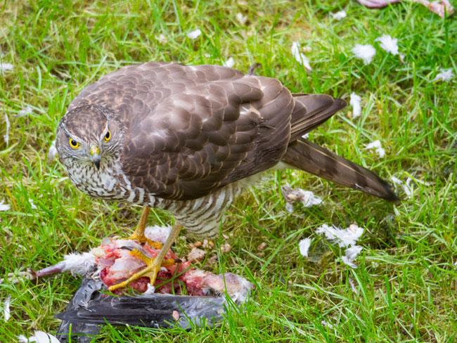 hawk-with-bird-from-feeder
