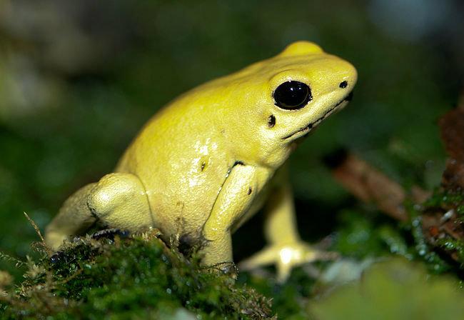 800px-Golden_Poison_dart_frog_Phyllobates_terribilis