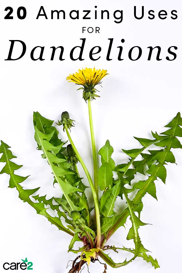 You've probably pulled dandelion in your garden, thinking it's a weed. It turns out that the yellow plant actually has some amazing medicinal uses!