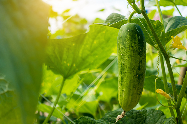 Cucumber - Care2