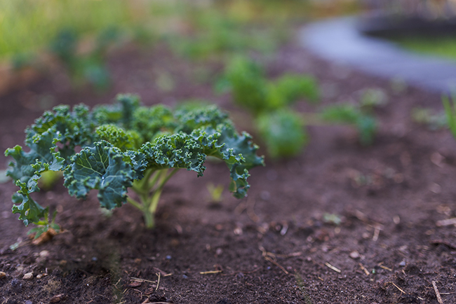 Kale plant in garden bed