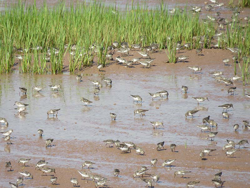 Semipalmated sandpipers feeding on the mudflat. (Photo by NCC)