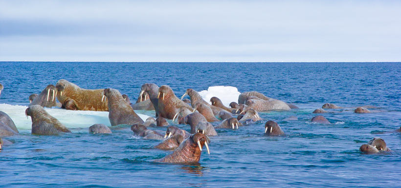Walruses (Photo by Mario Cyr)