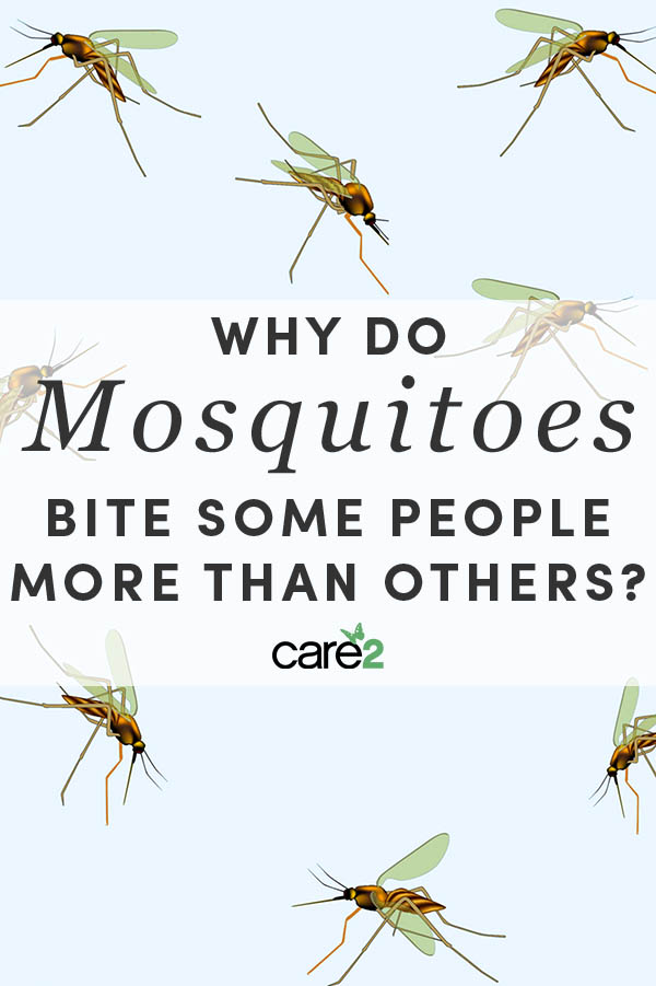Are you a magnet for mosquitoes? Understanding why mosquitoes bite people more than others can be useful in avoiding them.