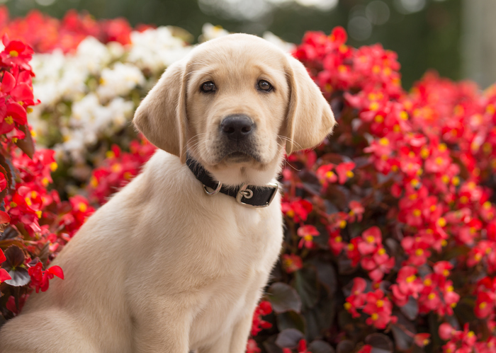 A Labrador retriever puppy sits in front of red and white flowers.