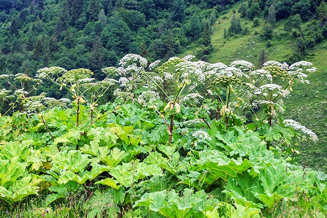 Lush Wild Giant Hogweed plant
