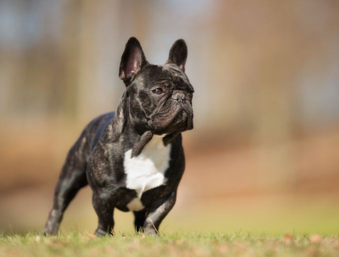 black French bulldog standing outdoors