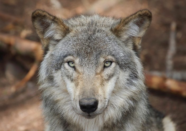 closeup of a gray wolf face