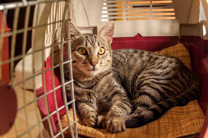 tabby cat resting in a carrier