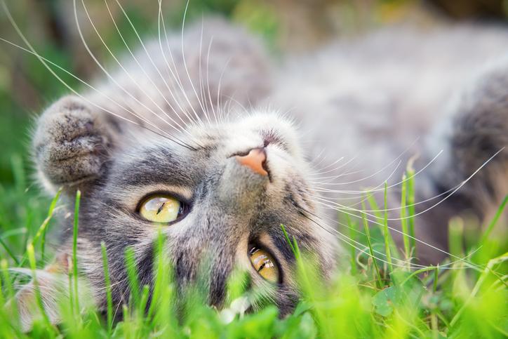cat lying upside-down in grass