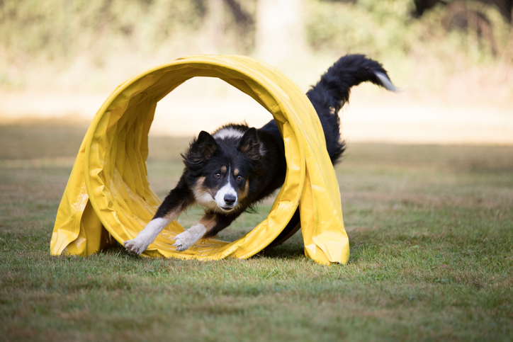 A border collie runs through a tunnel on an agility course.