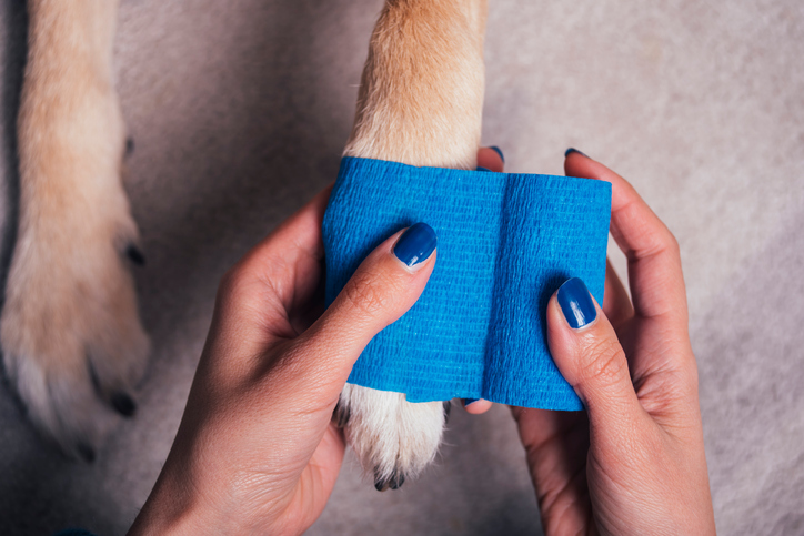 A person is placing a blue bandage on a tan dog's paw.